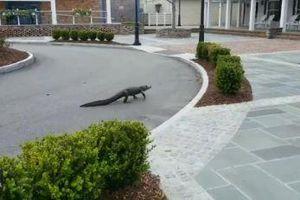 Cá sấu ngang nhiên đi dạo ngoài đường khi mọi người ở nhà tránh Covid-19