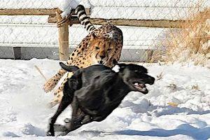 Ảnh động vật: Trâu 'điên' húc bay sư tử
