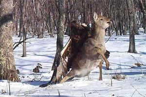 Ảnh động vật: Đại bàng tấn công nai rừng
