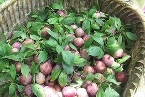 Phát triển cây mận đỏ góp phần xóa đói giảm nghèo ở huyện vùng cao Hà Giang