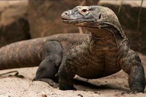 Loài rồng duy nhất thật sự đang tồn tại trên Trái Đất