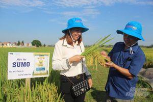 Nông dân xứ Thanh mê mẩn lúa Sumo