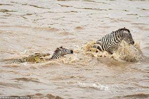 Bị đàn cá sấu vây, ngựa vằn tan xác trong 'nháy mắt'