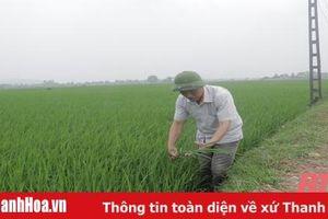 Sản xuất lúa chất lượng cao theo hướng hữu cơ gắn với tiêu thụ sản phẩm tại huyện Quảng Xương