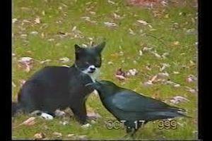 Tình bạn kỳ lạ giữa quạ và mèo khiến mọi trái tim tan chảy