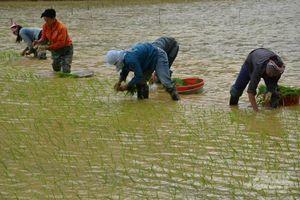 Kỹ thuật ngâm, ủ giống lúa Nhật Japonica