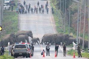 Đàn voi hàng chục con đi bộ lững thững qua đường cao tốc