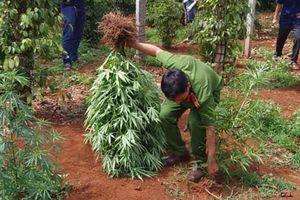 Đắk Lắk: Tuyên truyền và xử lý nghiêm để ngăn chặn nạn trồng cây cần sa