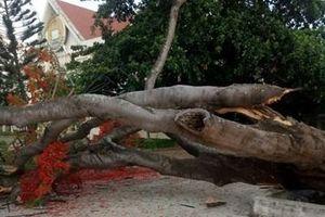 Lại thêm cây phượng cổ thụ bất ngờ bật gốc đổ giữa sân trường