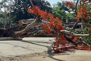 Thêm 1 cây phượng đường kính hơn 1 m bật gốc đổ ngã trong sân trường