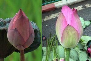 Mẹo đơn giản phân biệt chính xác hoa sen và hoa quỳ