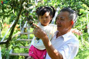 Mận Mộc Châu vào mùa thu hoạch, nông dân kiếm tiền triệu mỗi ngày