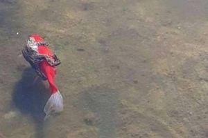 Kỳ thú loài cá mở 'dịch vụ grab' như loài người