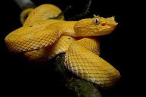 Cận cảnh 'nụ hôn' thần chết của loài rắn độc nhất thế giới