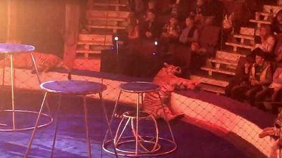 Clip: Hổ cái lên cơn co giật rồi ngã gục khi đang diễn xiếc