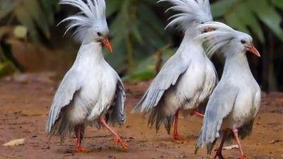 Loài chim được mệnh danh 'ma rừng', có mào 'độc đắc'