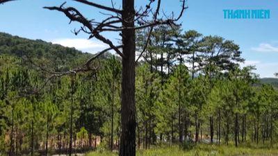 Rừng thông chết đứng giữa trời