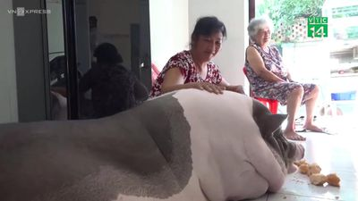Lợn cưng khổng lồ sống trong nhà cùng chủ, biết tự giữ vệ sinh cá nhân