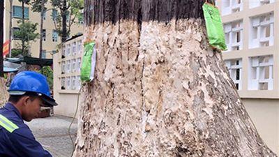 Truyền nước biển cứu 1.000 cây cổ thụ ở thành phố Trà Vinh