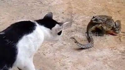 Cuộc chiến kỳ quặc giữa ếch, rắn và mèo