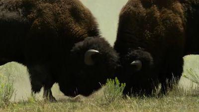 Cảnh chiến đấu giành quyền lãnh đạo của bò rừng bison