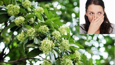 Tác dụng chữa bệnh tuyệt vời của cây hoa sữa mà ít người biết đến
