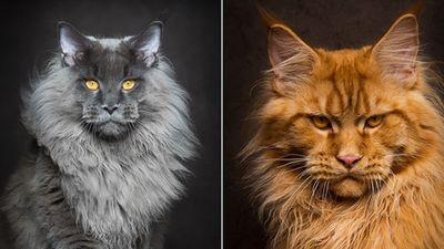 Ảnh đẹp 'chất lừ' của mèo Maine Coon, mèo lớn nhất thế giới