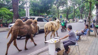 Hai chú lạc đà giá hàng trăm triệu 'dạo phố' Hà Nội gây sốt