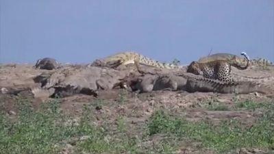 Báo đốm trộm thức ăn của bầy cá sấu