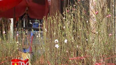 Hoa đào Nhật Tân nở sớm, ngập tràn chợ hoa