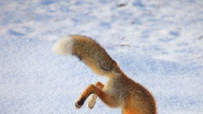 Kỳ quặc cáo đỏ cực Bắc phi thân cắm đầu xuống tuyết