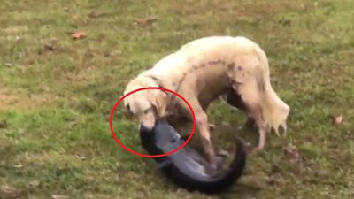 Clip: Chó tung đòn thần tốc, bắt gọn cá trê khủng trong chớp mắt