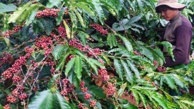 Cà phê chín đen trên vườn, nông dân 'đỏ mắt' tìm người thu hái