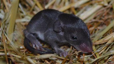 Loài chuột kỳ lạ hay 'thí' luôn da cho kẻ săn mồi