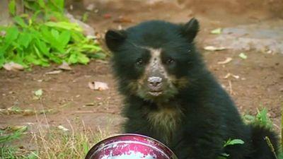 Giải cứu bé 'gấu Paddington' đời thực sau khi gấu mẹ bị giết