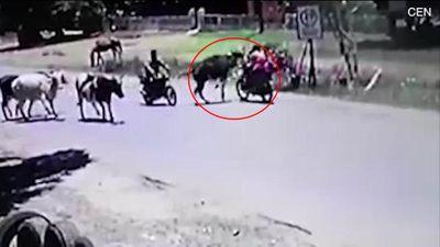 Bò bất ngờ lao tới tung cả 4 vó đá bay cô gái đi xe máy xuống đường
