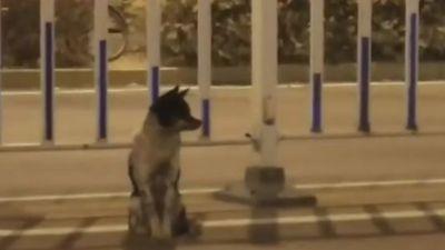 Cảm động chú chó ngồi đợi tại nơi chủ chết trong suốt 80 ngày