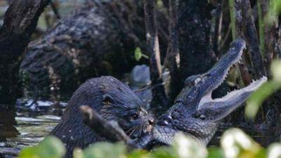 Clip: Cá sấu tử trận khi 'đối đầu' đàn rái cá