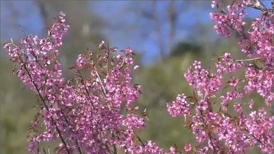 Lung linh sắc hoa tớ dày vùng cao Tây Bắc
