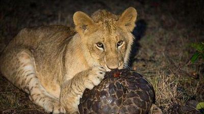 Cuộc chiến sinh tồn: Sư tử 'hờn cả thế giới' khi gặm tê tê mỏi hàm vẫn không được miếng nào