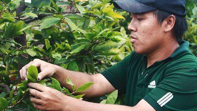 Vặt lá, bắt sâu: Tiền công mỗi ngày cả triệu