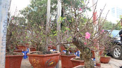 Ngắm đào mini cao 2 gang tay giá gần 4 triệu/cây chơi Tết ở Hà Nội
