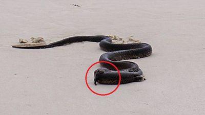 Clip: Rắn độc quằn quại nuốt chửng thằn lằn trên bãi biển