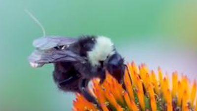 Những con ong được mang balo tí hon, thay thế thiết bị drone