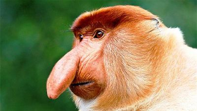 Mục sở thị loài khỉ có chiếc mũi 'phù thủy' dài lủng lẳng như vòi voi