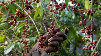 Biến đổi khí hậu, phá rừng tác động xấu đến... người ghiền cà phê