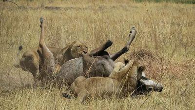 Linh dương bất lực chống chọi với 2 con sư tử và cái kết bất ngờ