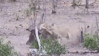 Chống đối sư tử, trâu rừng trả giá bằng cả tính mạng