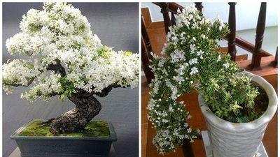Mãn nhãn ngắm bạch tuyết mai bonsai tuyệt đẹp chưng Tết