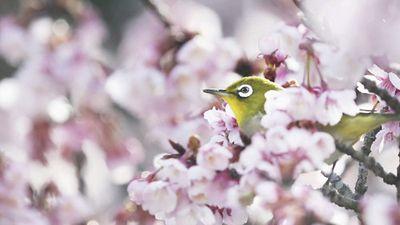 Đẹp tuyệt mỹ chim mắt trắng ẩn hiện dưới hoa anh đào